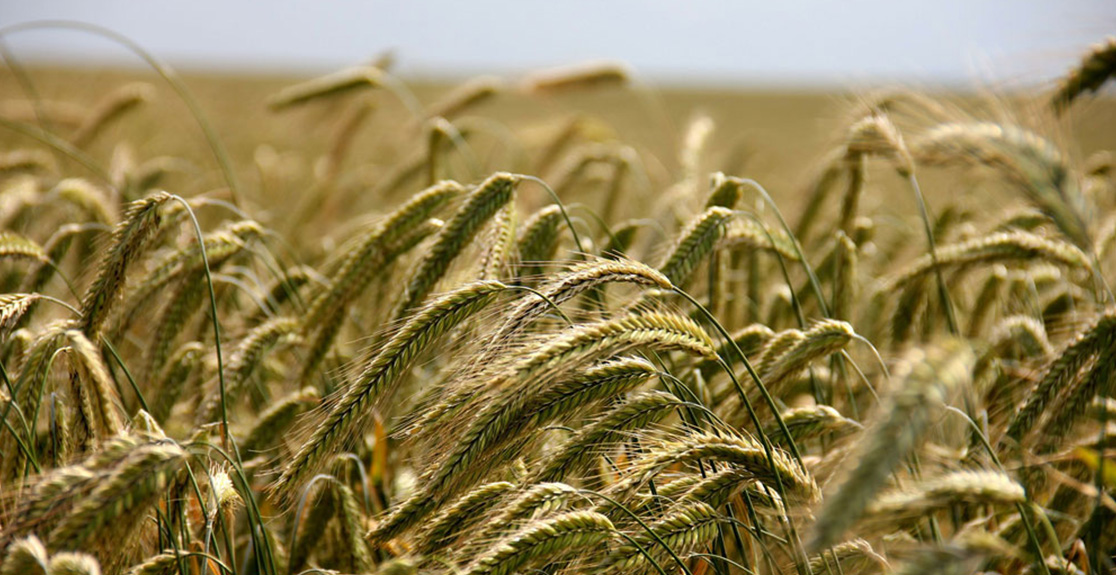 WHOLE CROP SILAGE - AN ALTERNATIVE TO MAIZE?